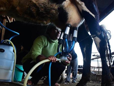Reducción de acopio de leche causa división en productores