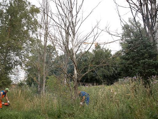 В Солнечногорье проводят опиловку аварийных деревьев по обращениям жителей