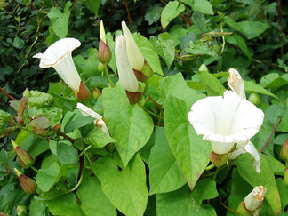 The Bindweed Problem