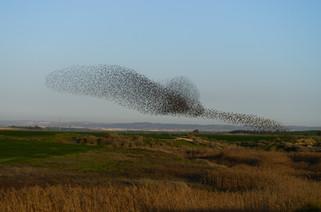Starling Birds
