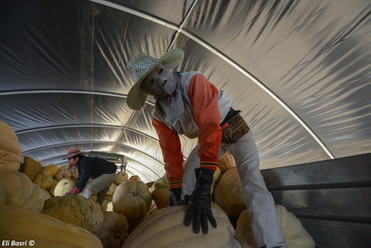 Foreign Thai workers gathering pumpkins central Israel
