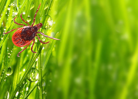 Tick on green grass. Dangerous parasite.