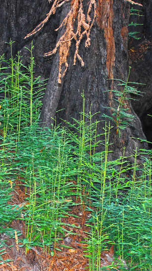 Sarris, Vicki - Redwood Clones - Photography - 13 Inches x 16 Inches - $250.jpg