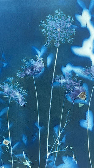 Brinkley, Becky - Queen Anne's Lace #1 - Cyanotype - 12 Inches x 12 Inches - $575.jpg