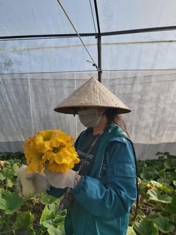 Thu hoạch hoa bí và quả bí non