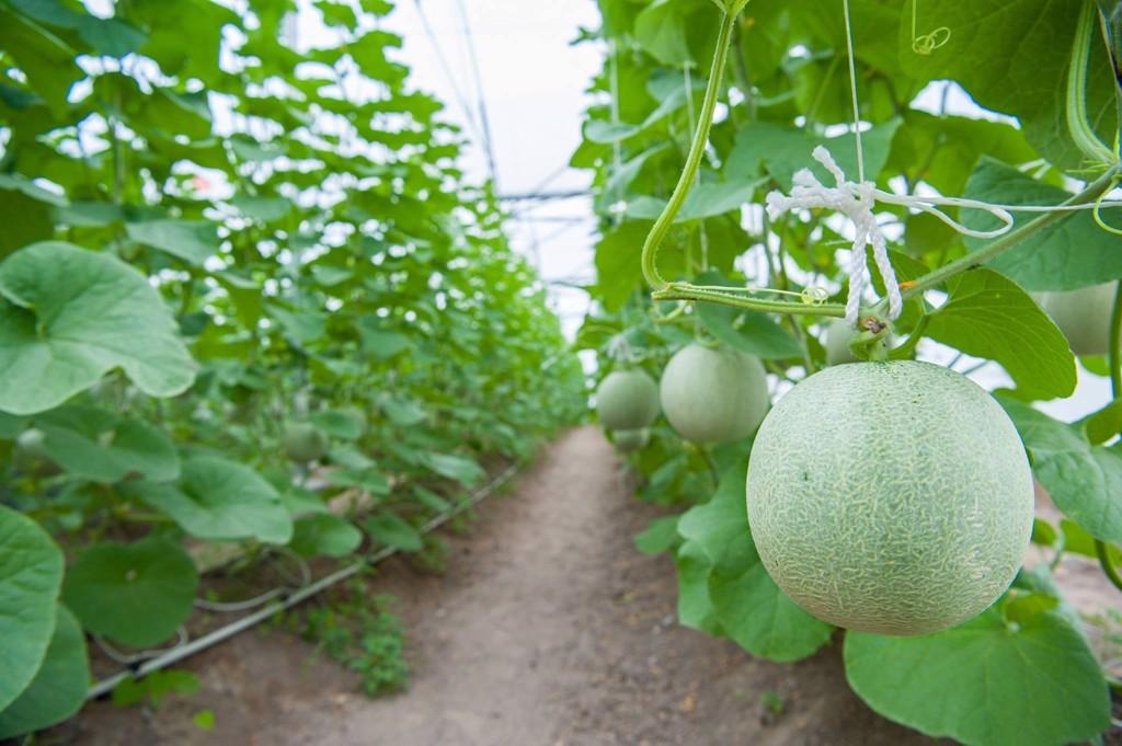 Dưa lưới được trồng theo phương pháp hữu cơ