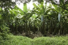 Benefits of Banana Leaf