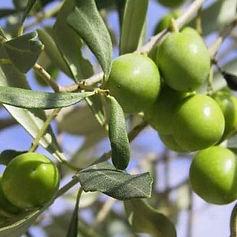 Olives_vertes_sur_olivier.jpg