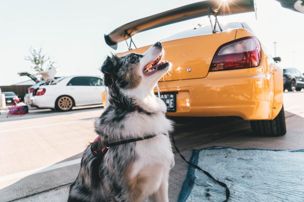 Dog at Subaru Meet
