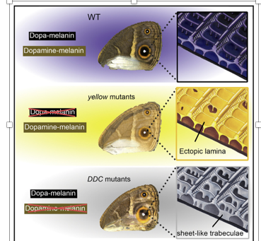 Butterfly scales and structural colours