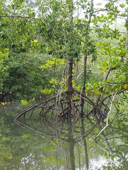 Mangroves Ubin2.JPG
