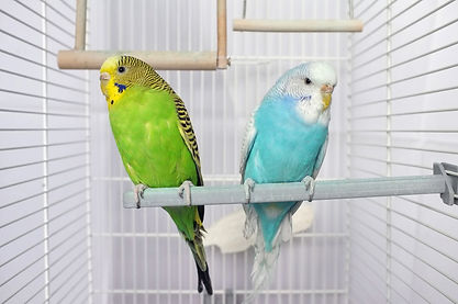 1280-1200-516142814-budgie-birds-in-a-ca