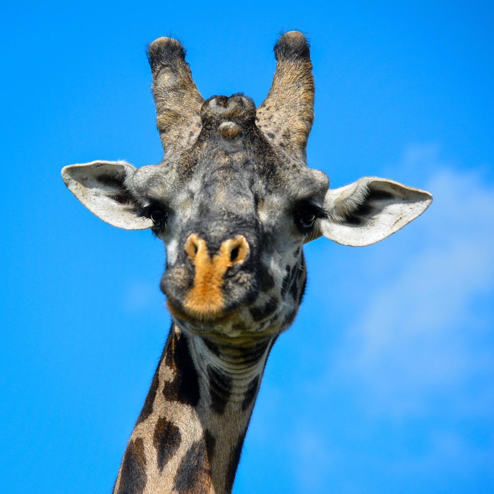 żyrafa zoo natura zwierzęta