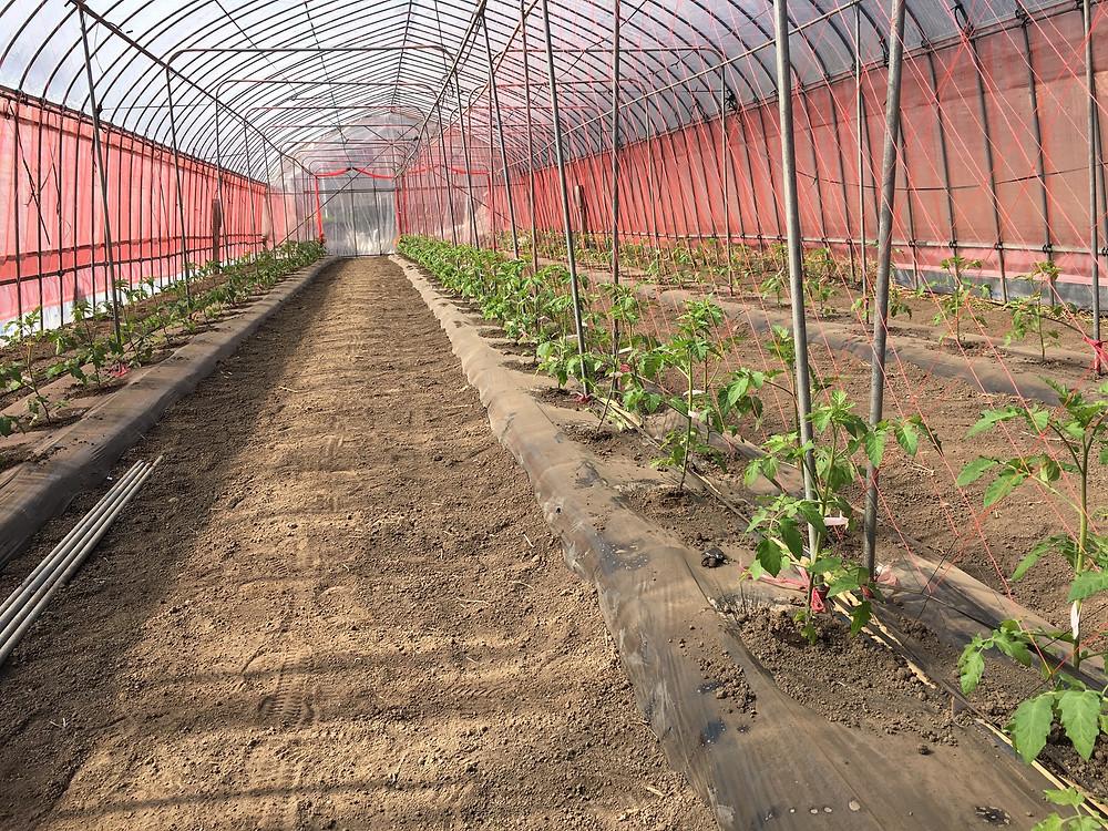 定植されたミニトマト達