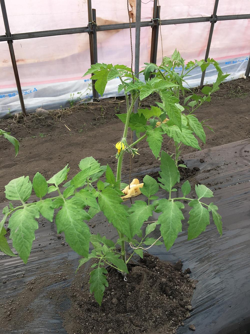 定植されたトマトの苗のアップ写真