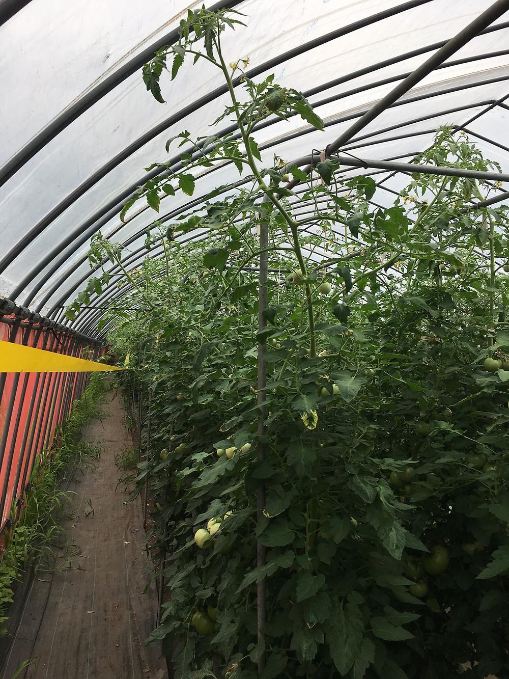 ビニールにつきそうなトマト