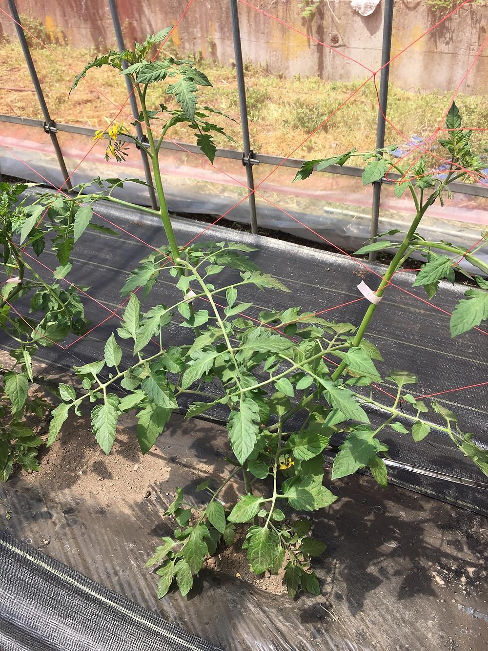 側枝整理が完了したトマト