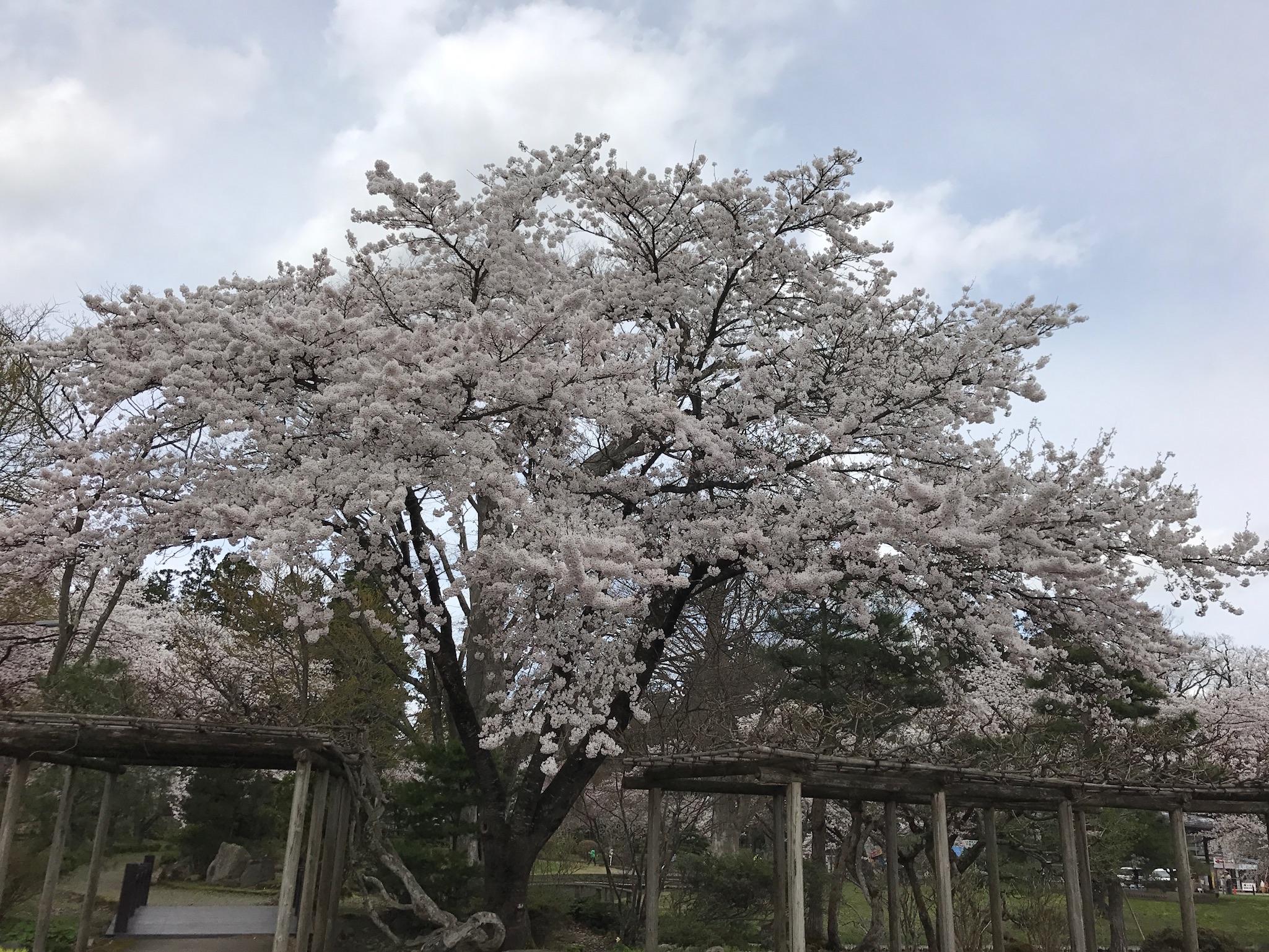 伊佐須美神社の桜
