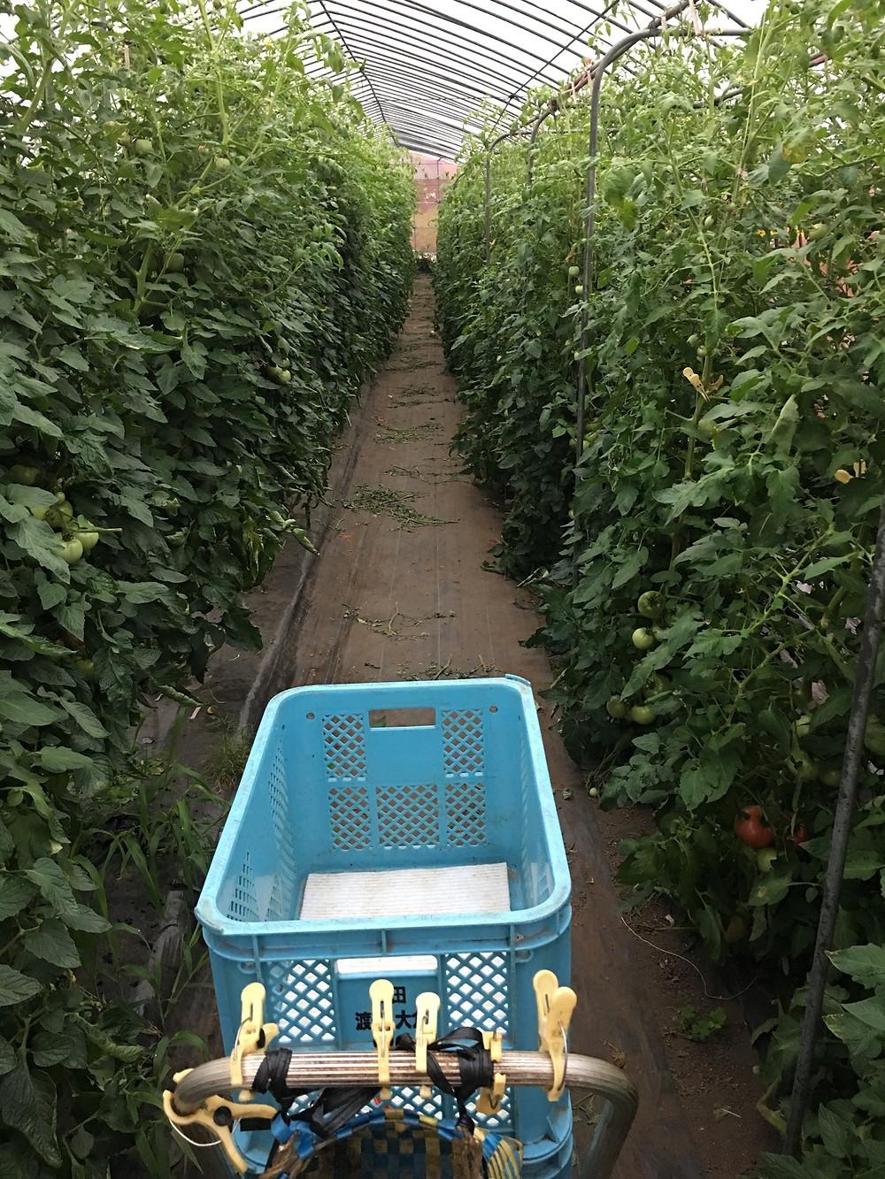 四輪車を用意して収穫スタート!