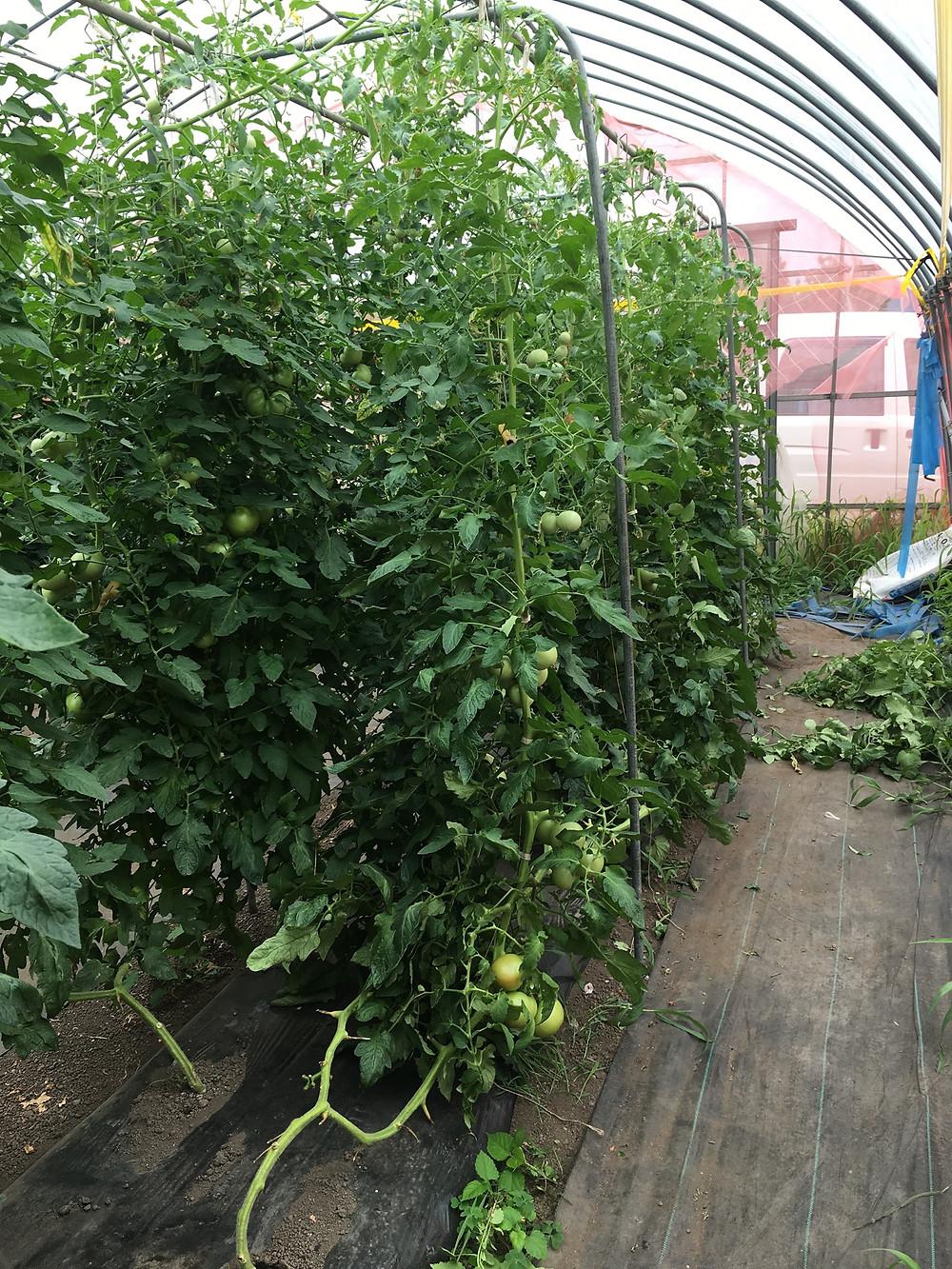 誘引作業後のトマト