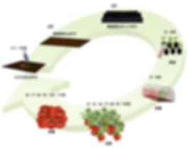 トマトの生産サイクル