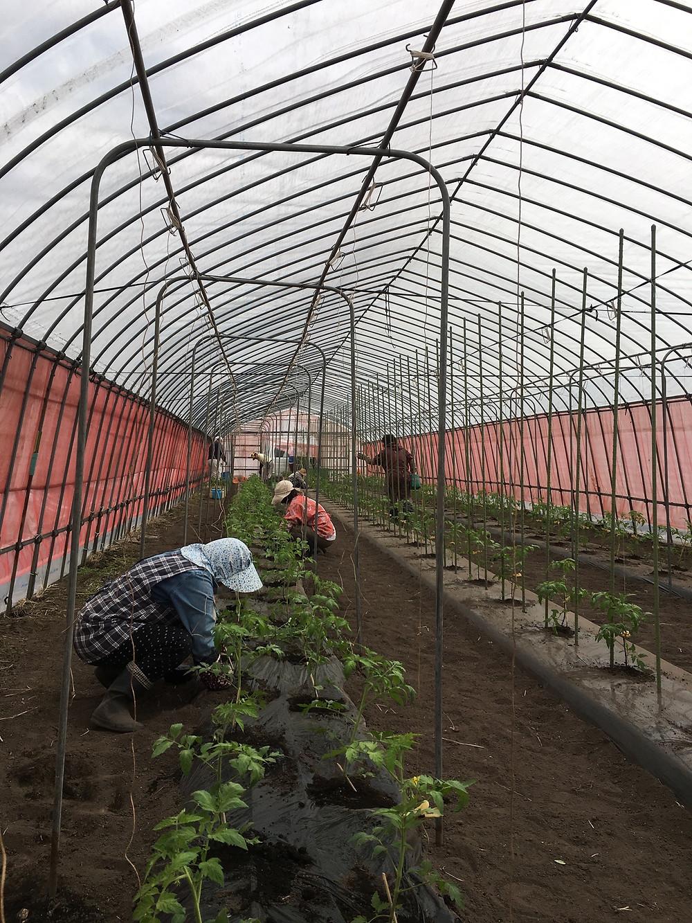 たくさんの人でトマトの定植を行なっている様子