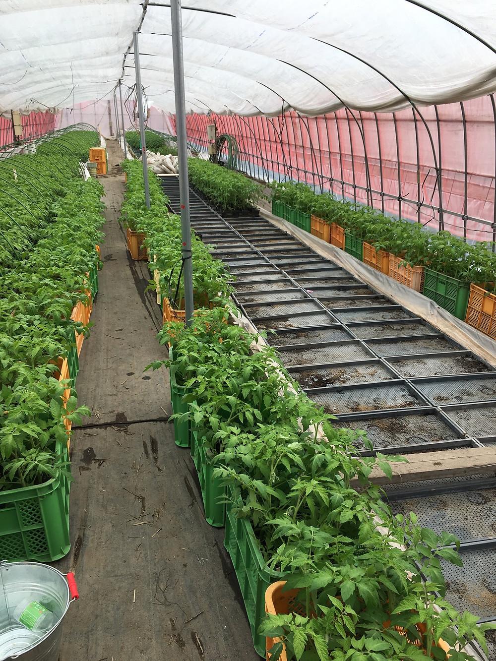 トマトの苗が温床から運び出されようとしている様子