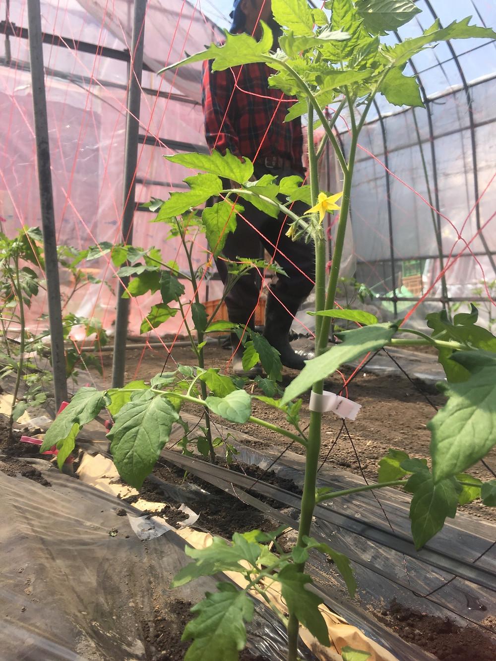 ミニトマトのハウスを見渡す農園長