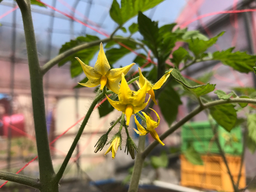 ミニトマトの第一花房