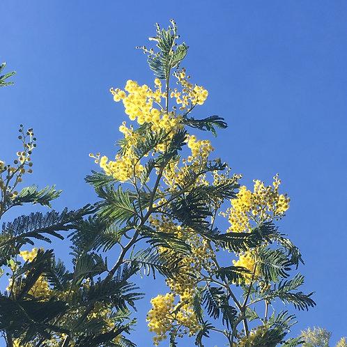 Wild Abundance: Mimosa + Citrine + Amber Aura Spray
