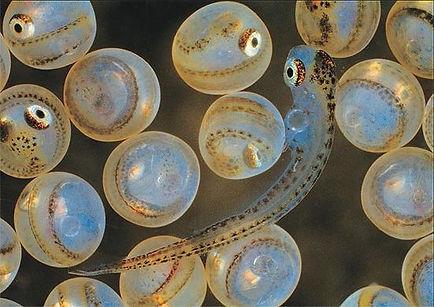 Coregonus-migratorius-egg.jpg