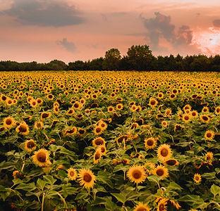 Sunflower Field 2021.jpg