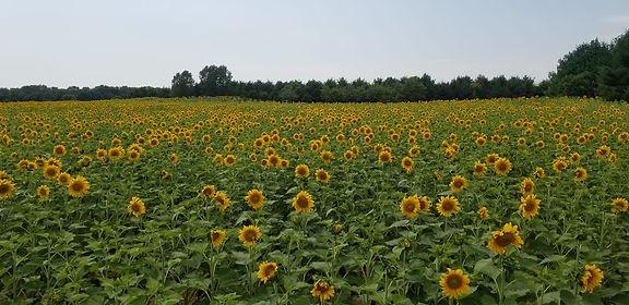 efm sunflower feild.jpg