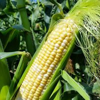 Eugster's famous sweet corn