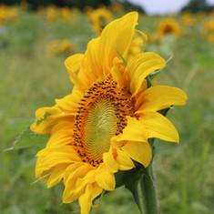 Sunflowers love to follow the sun