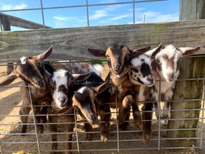 Bottle Feed Goats