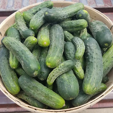 Eugster's famous pickles ready to be pickled