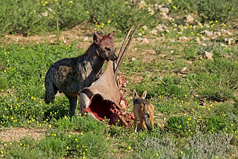 Spotted Hyena with Gemsbok carcass