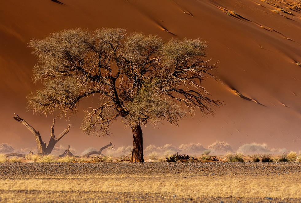 Acacia Tree in Dust Blast