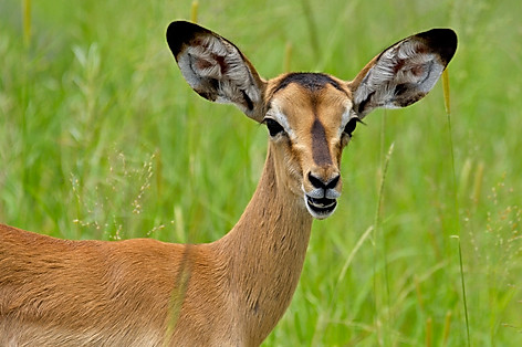 Young Black-faced Impala Portrait