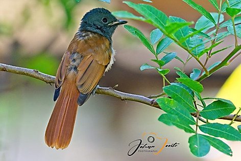 Juvenile African Paradise Flycatcher.