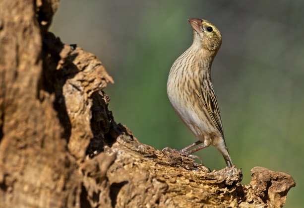 Southern Red Bishop female
