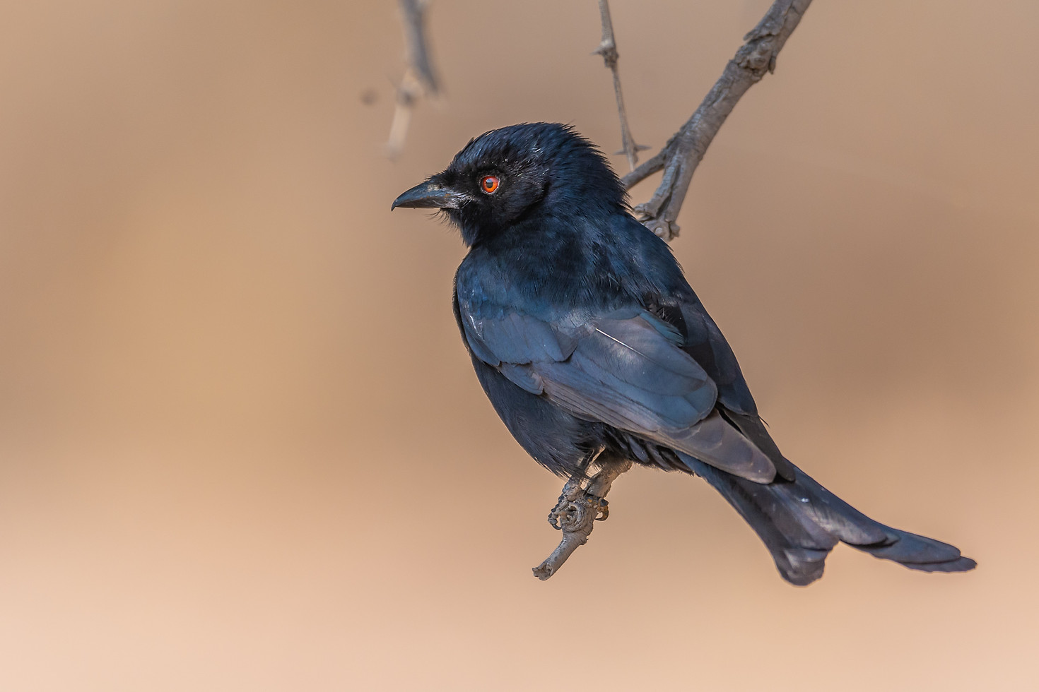 Fork-tailed Drongo  Dicrurus adsimilis  Mikstertbyvanger