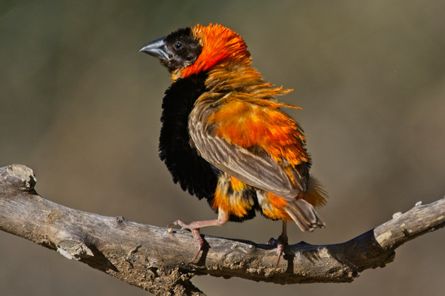 Southern Red Bishop male