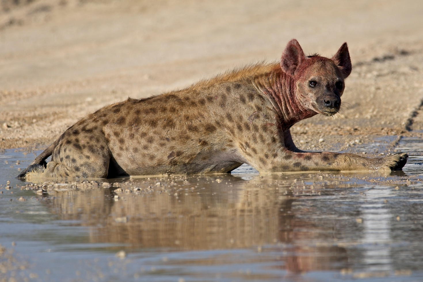 Spotted Hyena cooling off