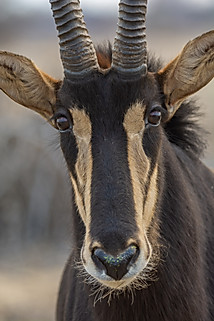 Sable Male