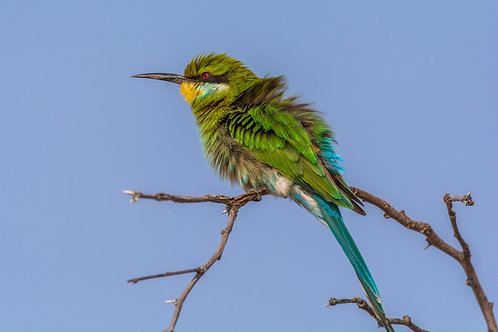 Swallow-tailed Bee-eater 2