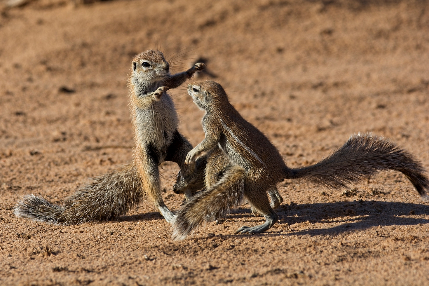Young Ground Squirrels Playing