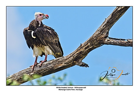 White-headed Vulture.