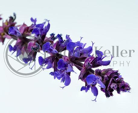 Lavender | 20x30